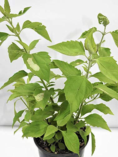 ROMPESARAGUEY Plant with ROOTH/PLANTA ROMPE SARAGUEY CON Raiz. (WE Suggest,...